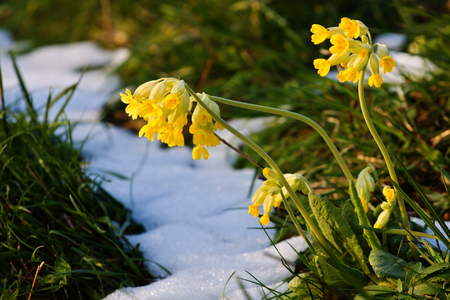 First cowslip growing from snow. Close-up yellow spring flowers. Primula Veris. Awakening nature. Stock Photo