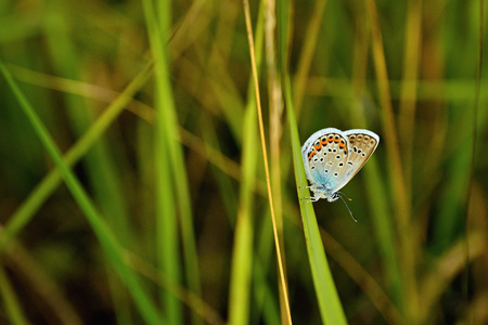Beautiful Polyommatus icarus on the summer meadow. The side view of a blue butterfly. Insect with pattern wings. Stock Photo