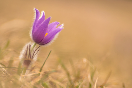 Beautiful spring pulsatilla flowers with purple petals. Spring bloom at sunset. Hairy plant