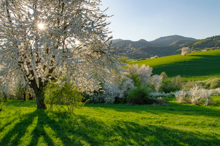 Spring cherry tree, meadows and fields landscape in Slovakia. Blossoming cherry trees. Fresh country.