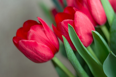 Beautiful red tulips. Fresh blooming petals. Celebrate bouquet. Spring flowers symbol. Stok Fotoğraf