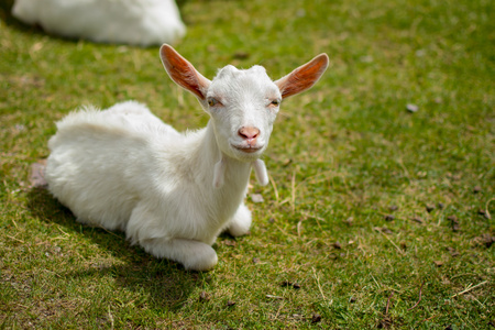 Little domestic white goat lying on green grass. Resting farm animal on pasture Stok Fotoğraf