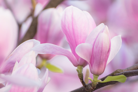 Magnolia blooming tree on branch. Fragile pink flowers. Beautiful spring tree and flowers with pink petals. Stok Fotoğraf