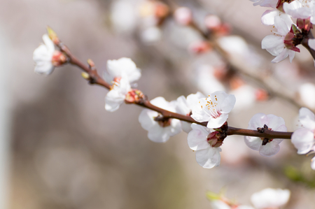 Beautiful white and pink apricot blossom tree in spring time. Close up view of fruit tree flowers. Floral bacground.