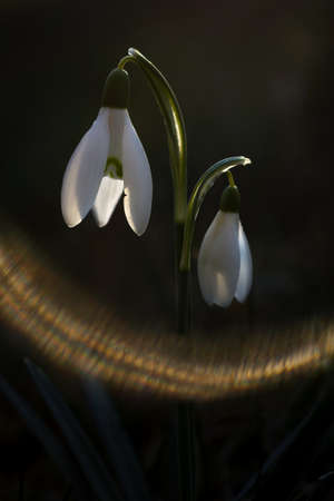 First snowdrop growing from snow. Close-up white spring flowers. Galanthus nivalis. Awakening nature.