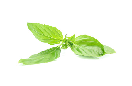 Close up green basil herb leaves isolated on white background.