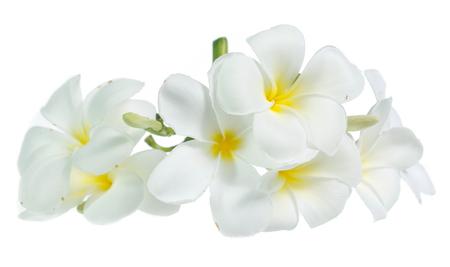 Frangipani flower isolated on white on white
