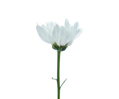 Chrysanthemum flower isolated on white 版權商用圖片