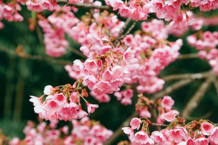 Vintage sakura or cherry blossom 版權商用圖片