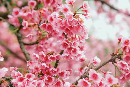 Vintage sakura or cherry blossom Reklamní fotografie