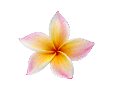 Frangipani isolated on white Stok Fotoğraf