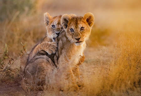 lion cubs cuddling Stock Photo
