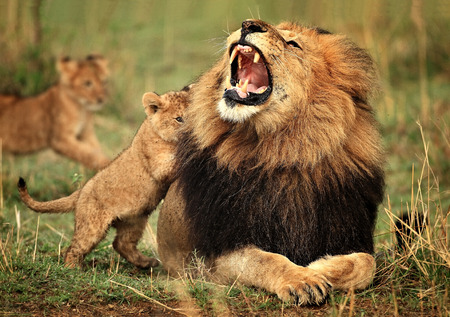male lion and cub
