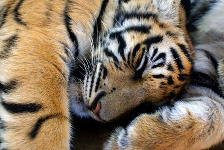 Sleeping young Tiger               photo