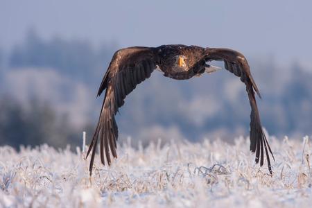flying eagle in frozen snow Standard-Bild