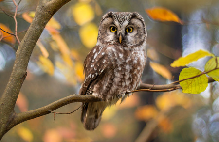 owl eye: boreal owl in autumn leaves