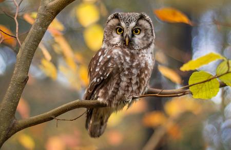 arbol pájaros: mochuelo en hojas de otoño