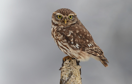 little owl in winter