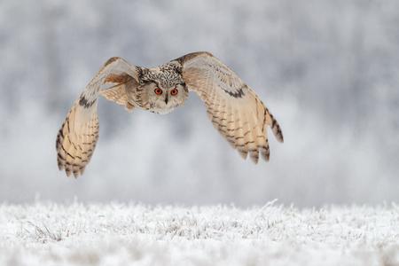 flying owl in snow