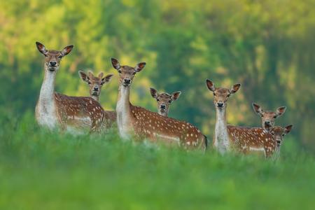fallow deer: fallow deer family - doe mothers and fawn babies