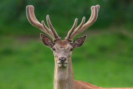 fuzzy: red deer portrait with fuzzy velvet antler Stock Photo
