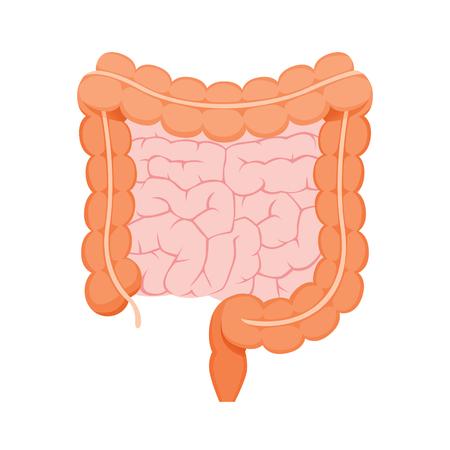 Illustratie van grote en kleine menselijke darm, aanhangsel, inwendige organen, lichaam, lichamelijk, ziekte, anatomie, gezondheid