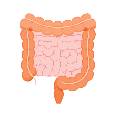 Illustration Of Large And Small Human Intestine, Appendix, Internal Organs, Body, Physical, Sickness, Anatomy, Health Vectores