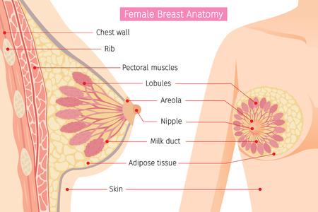 Przekrój kobiecej anatomii piersi, sutek, piersi, ciało, narządy, stan fizyczny, choroba, zdrowie Ilustracje wektorowe