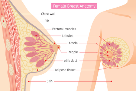 Cross Section Of Female Breast Anatomy, Mammary, Boob, Body, Organs, Physical, Sickness, Health Vettoriali