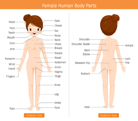 Female Human Anatomy, External Organs Body, Physiology, Structure, Medical Profession, Morphology, Healthy