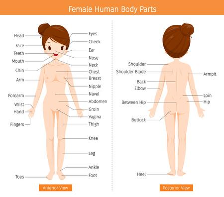 Vrouwelijke menselijke anatomie, lichaam van externe organen, fysiologie, structuur, medisch beroep, morfologie, gezond