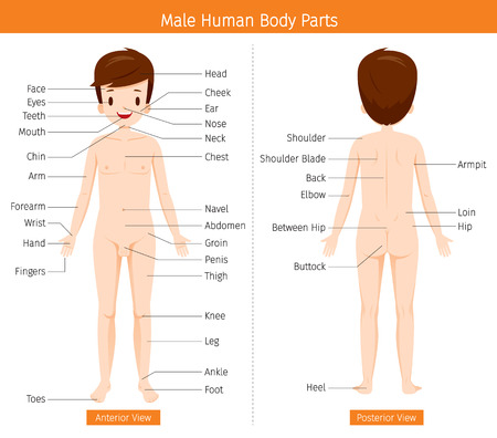 Male Human Anatomy, External Organs Body, Physiology, Structure, Medical Profession, Morphology, Healthy Stock fotó - 83248550