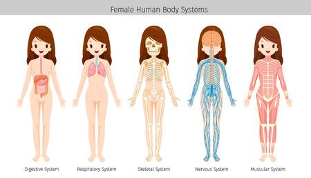 Vrouwelijke menselijke anatomie, lichaamssystemen, fysiologie, structuur, medisch beroep, morfologie, gezond