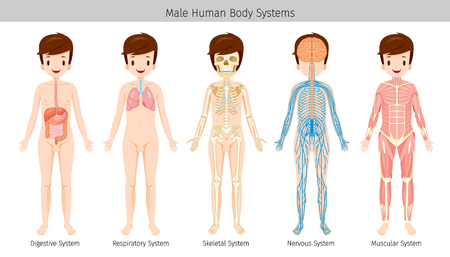 digestive: Male Human Anatomy, Body Systems, Physiology, Structure, Medical Profession, Morphology, Healthy