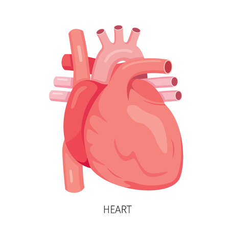 morphology: Heart, Human Internal Organ Diagram, Physiology, Structure, Medical Profession, Morphology, Healthy