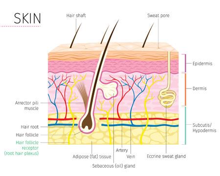 Anatomía humana, Diagrama de la piel y el cabello, Tez, Fisiología, Sistema, Médico, Saludable, Belleza, Cosmética, Maquillaje, Tratamiento