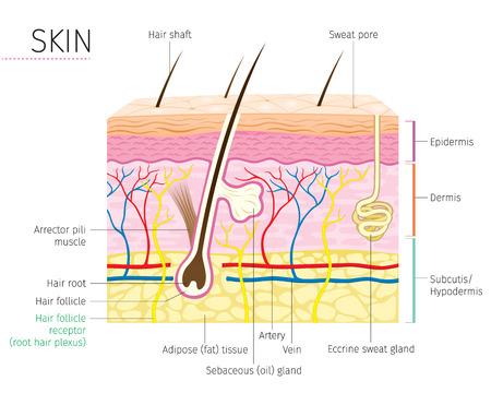 Human Anatomy, Skin And Hair Diagram, Complexion, Physiology, System, Medical, Healthy, Beauty, Cosmetic, Makeup, Treatment Stock fotó - 85121693