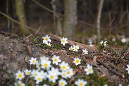 trifolia: anemone trifolia