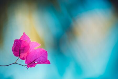 tropical fuschia bougainvillea flowers on a blurred blue and yellow background