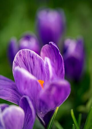 Close-up of looming purple crocus flowers in a soft focus on a spring day Standard-Bild