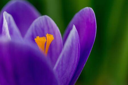 macro of blooming purple crocus flowers in the garden.
