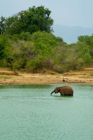 Young elephant having a bath in a jungle lake. forest bushes in national nature park Udawalawe, Sri Lanka