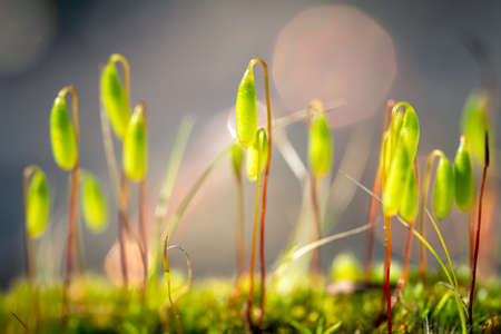 Close-up of sprouting moss. Soft focus background.