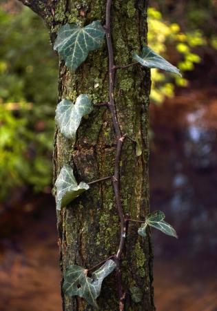 trunk  tree: hiedra sobre Troncos