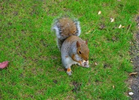 hyde: Squirrel in Hyde park