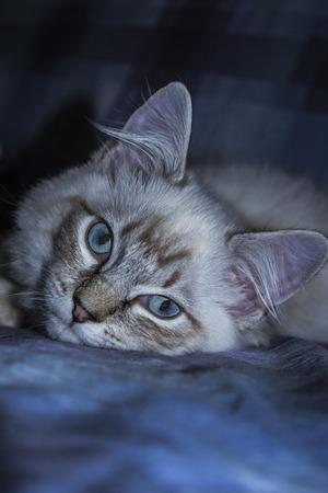 ragdoll: Ragdoll with intense blue eyes. Stock Photo
