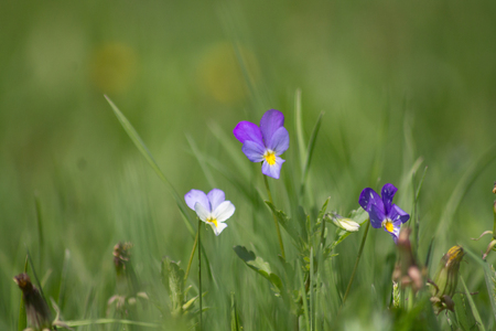Wild violets in the spring meadow 2