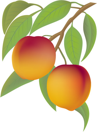 peach tree: Two juicy peaches on a branch with leaflets