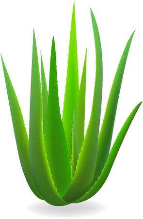 Aloe-vera.  Vector