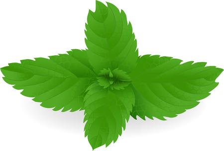 menta: Hojas de menta fresca de verde en formato vectorial.